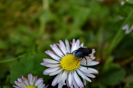 animal, close-up, daisy, insect, nature, white flower, plant, petal, spring, flower