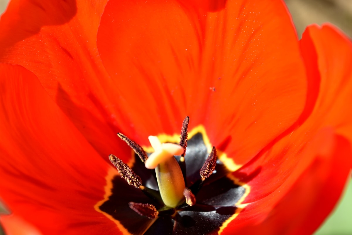 kronblad, støvbærere, pollen, pollinering, blomst, vår, natur, anlegget, kronblad, flora