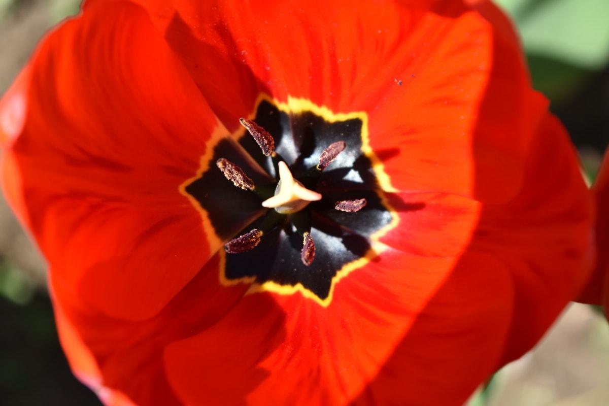 美しい花, センター, 間近, 園芸, マクロ, 雌しべ, 赤, チューリップ, 自然, 花