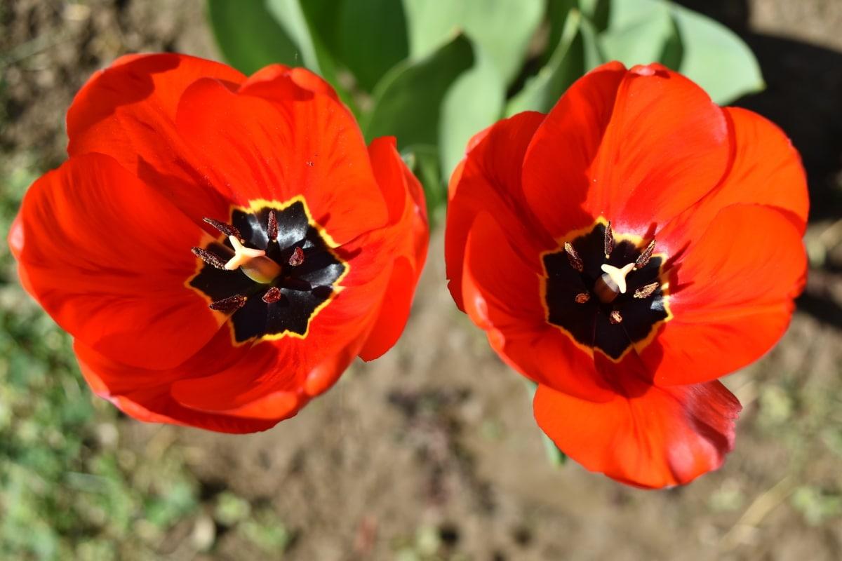 美丽的花朵, 红, 郁金香, 郁金香, 花, 花园, 罂粟, 植物, 性质, 植物区系