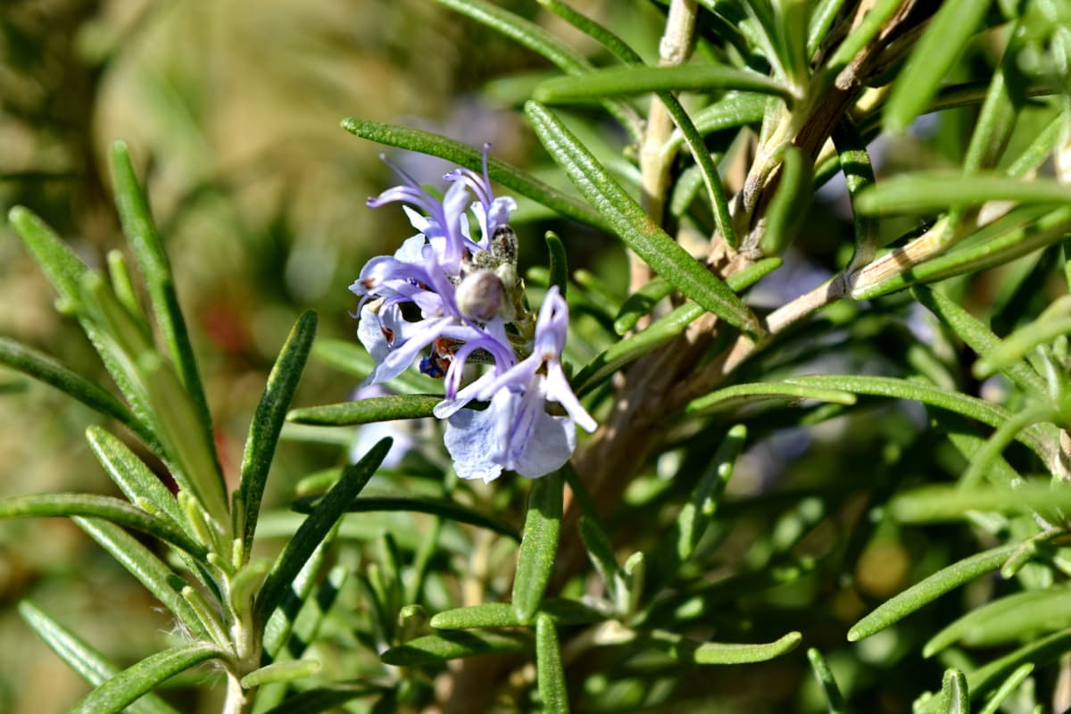 flower bud, flower garden, fragrance, rosemary, plant, flora, nature, garden, flower, herb