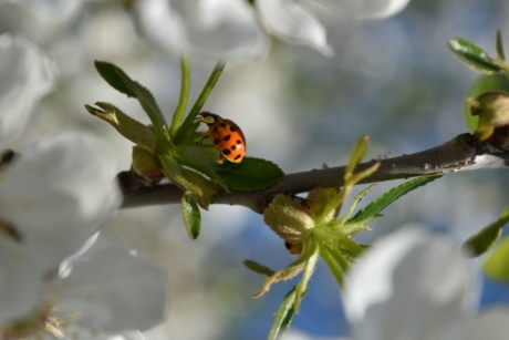 branches, ladybug, spring time, plant, bug, insect, invertebrate, nature, arthropod, beetle