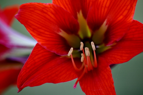amaryllis, close-up, detail, focus, pistil, stamen, flower, plant, nature, leaf