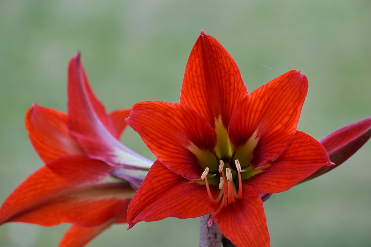 amaryllis, close-up, petals, pistil, pollen, red, spring time, nature, garden, flower