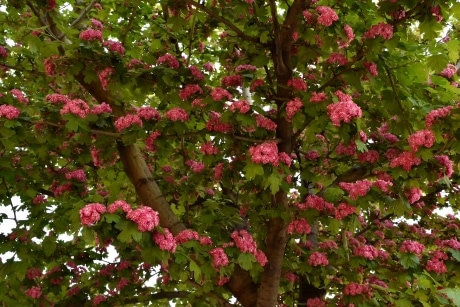 branches, flowers, pinkish, spring time, tree, blooming, nature, leaf, branch, garden