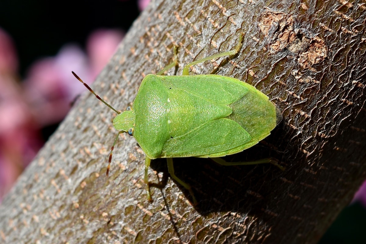 böceği, Şube, yakın, gözler, Yeşil, böcek, yaprak, doğa, kapatmak, omurgasız