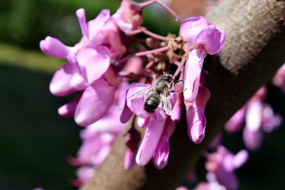 blomsterknop, honningbien, insekt, lyserød, pollen, bestøver, busk, foråret, natur, blomst