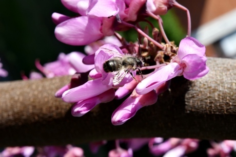 bee, close-up, honeybee, macro, spring time, insect, spring, shrub, petal, flower