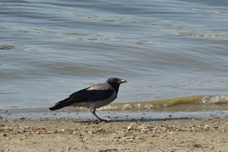 black bird, coastline, crow, wilderness, wildlife, sand, water, bird, beach, sea