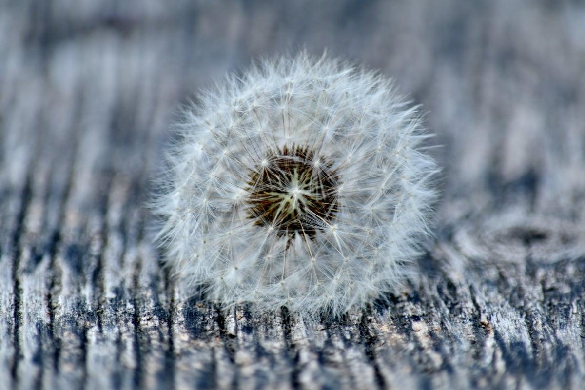 contacto directo, enfoque, ronda, semilla, diente de León, flor, flora, escarcha, al aire libre, de cerca