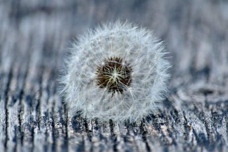 close-up, focus, round, seed, dandelion, flower, flora, frost, outdoors, upclose