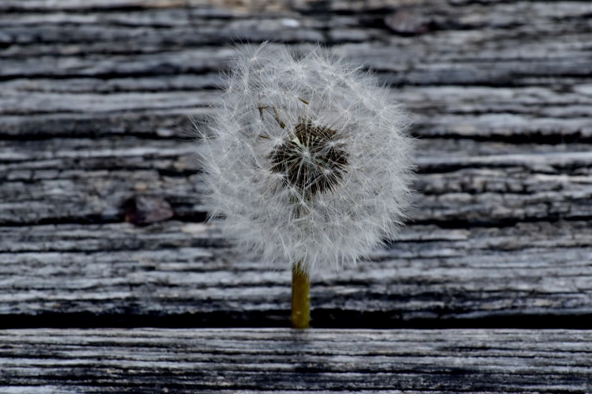 dandelion, wood, nature, texture, old, wooden, abstract, dark, board, upclose