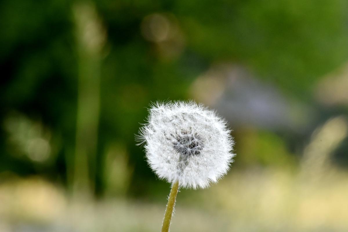 sunshine, dandelion, flower, plant, herb, nature, summer, grass, outdoors, blur