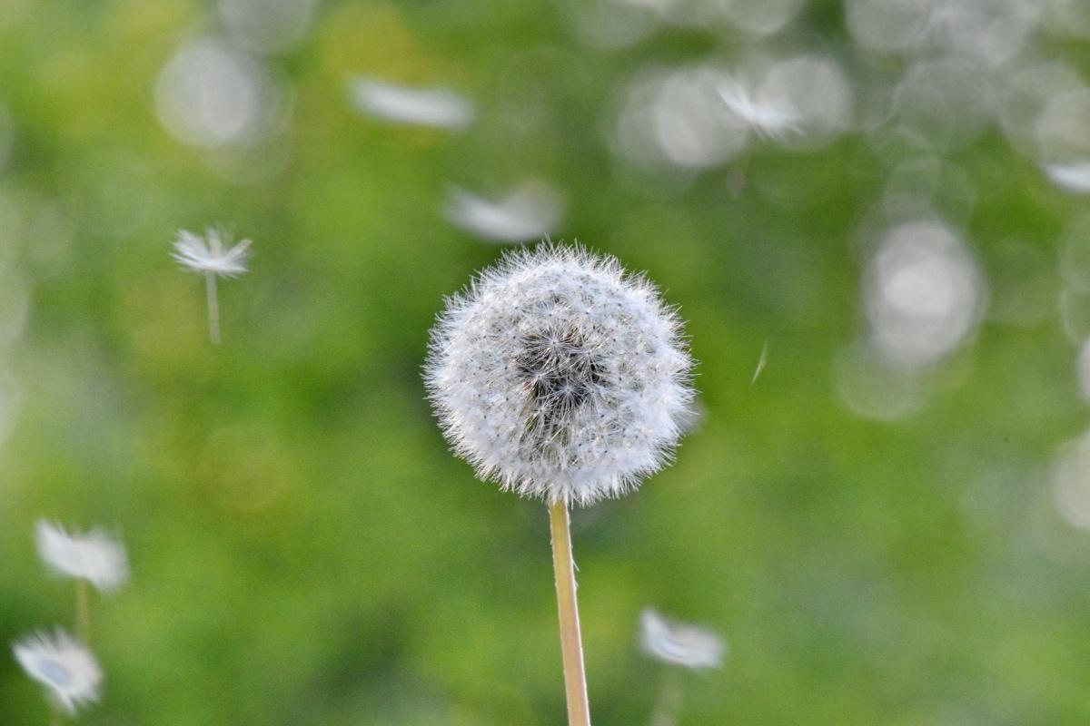 Păpădie, iarba de plante, timp de primăvară, soare, vânt, iarba, iarbă, natura, floare, vara