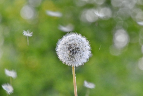 dandelion, grass plants, spring time, sunshine, wind, grass, herb, nature, flower, summer