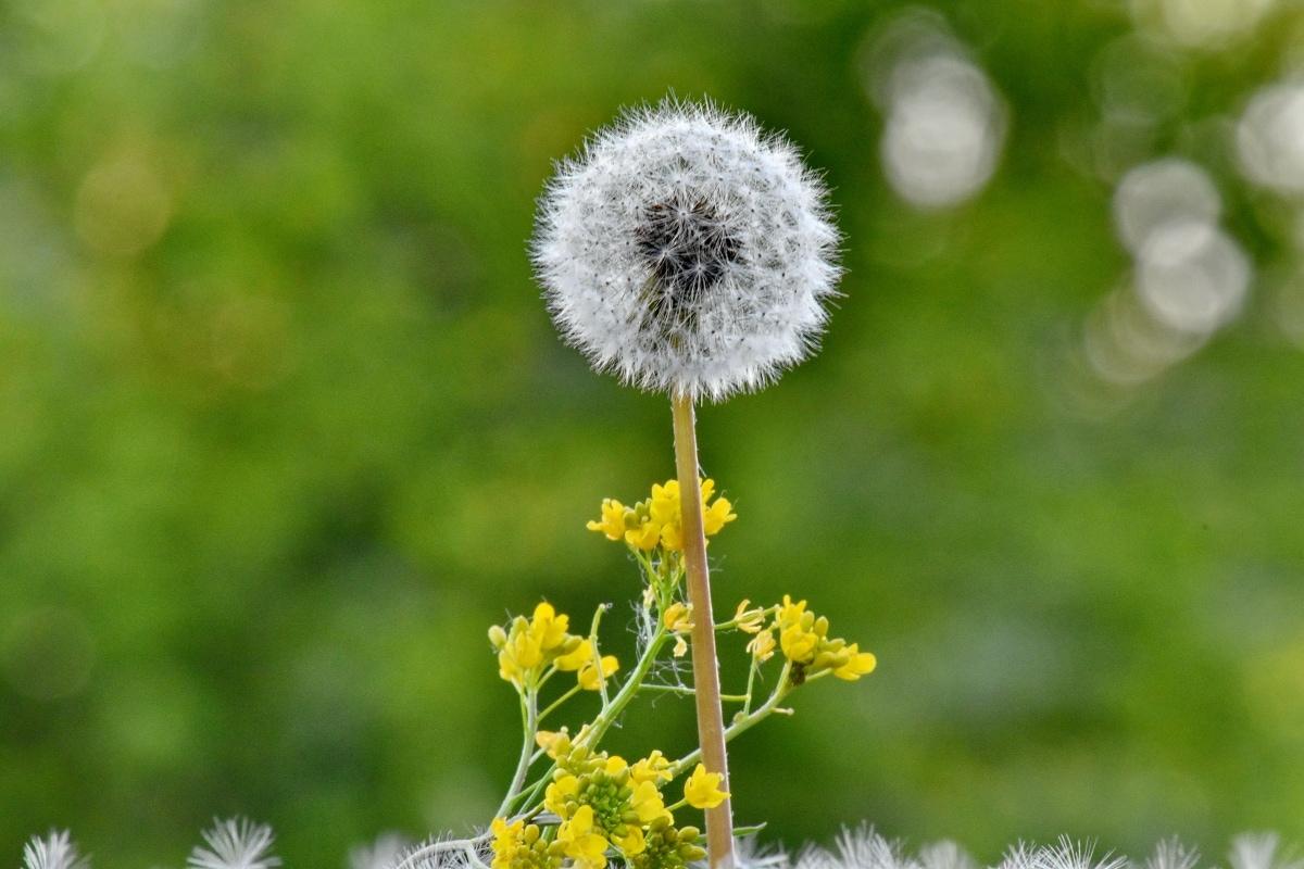 Púpava, kvetinová záhrada, lúka, slnečný svit, žltkasto hnedé, bylina, kvet, letné, príroda, flóra
