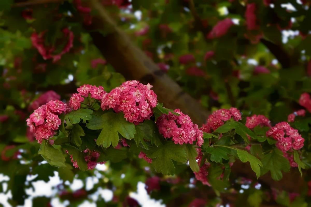 Ramos, flor em botão, flores, rosado, tempo de primavera, folha, flora, erva, planta, árvore