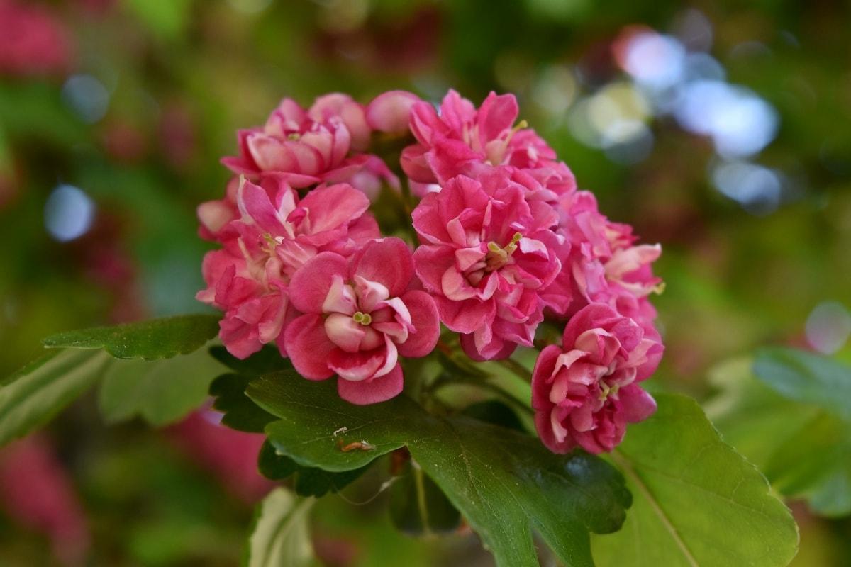 botanika, zblízka, clusteru, okvětní lístky, růžovo, Jarní čas, keř, léto, závod, zahrada