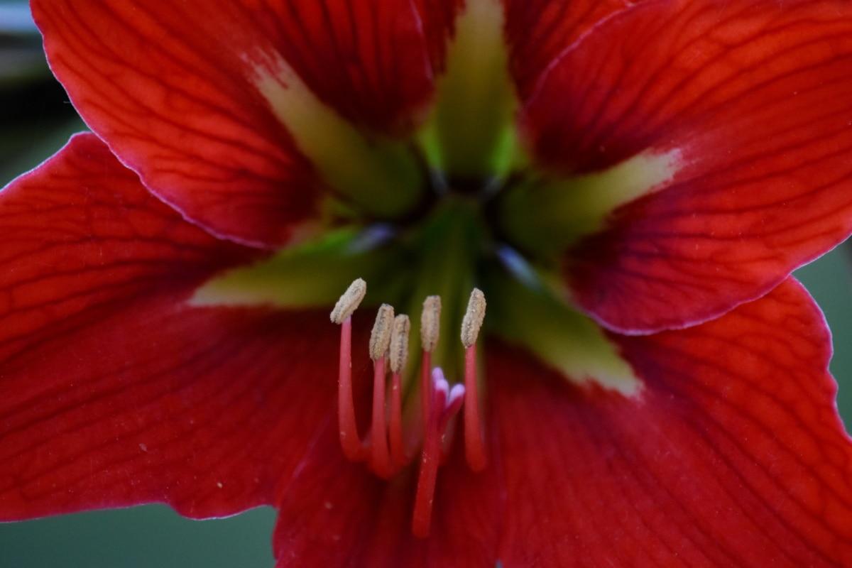 アマリリス, 園芸, マクロ, 花びら, 雌しべ, 花粉, 花びら, 工場, 花, 明るい
