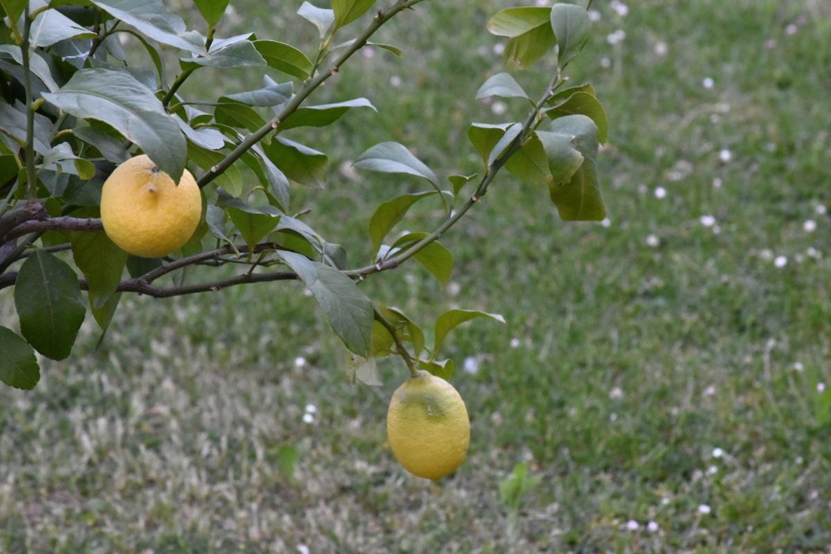 fruit, fruit tree, lemon, nature, orchard, organic, tree, tropic, citrus, healthy