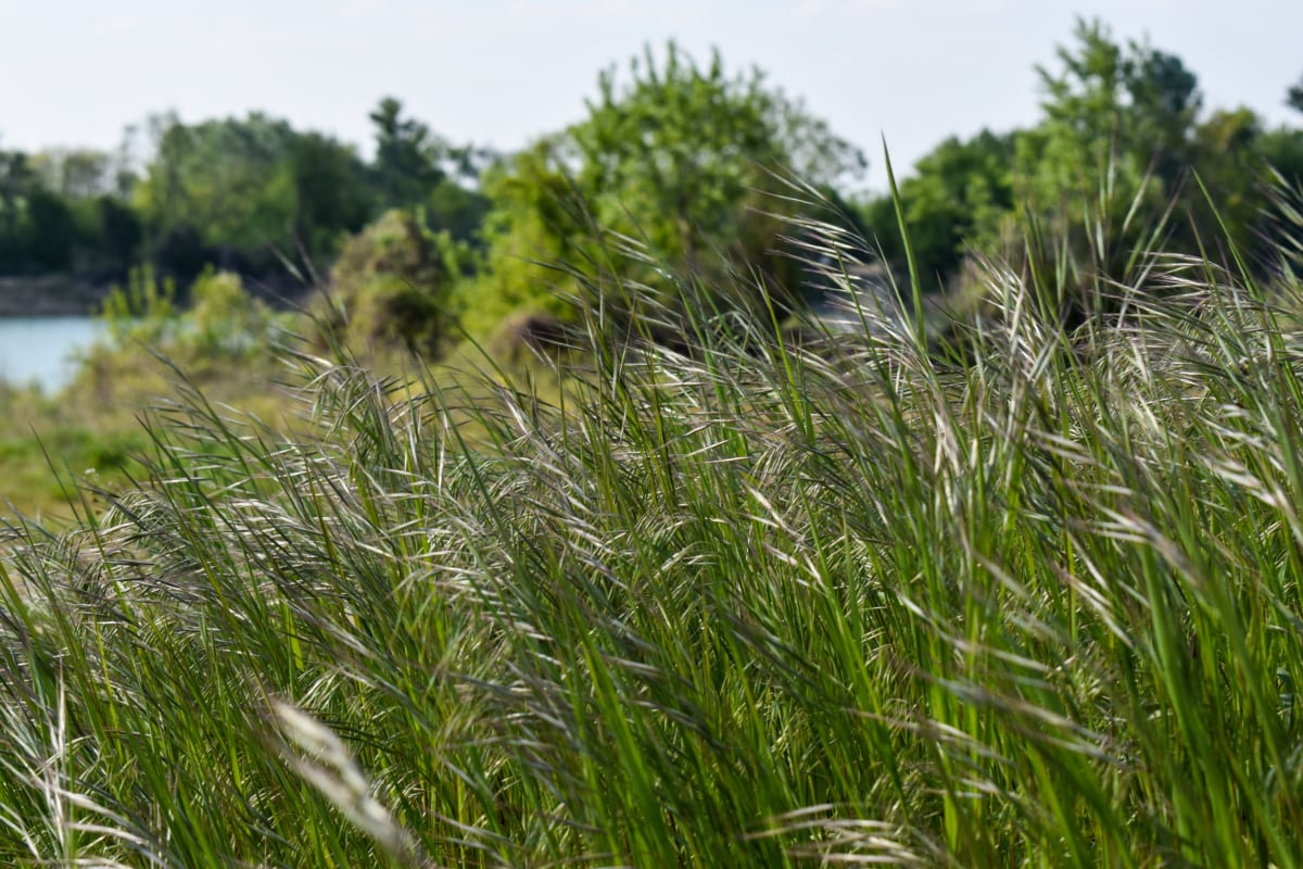 grass plants, grassy, high, spring time, weeds, plant, spring, grass, summer, herb