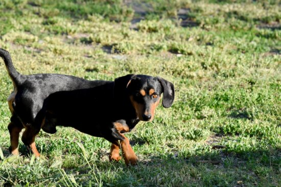 pet, grass, animal, dog, cute, puppy, field, domestic, outdoors, looking