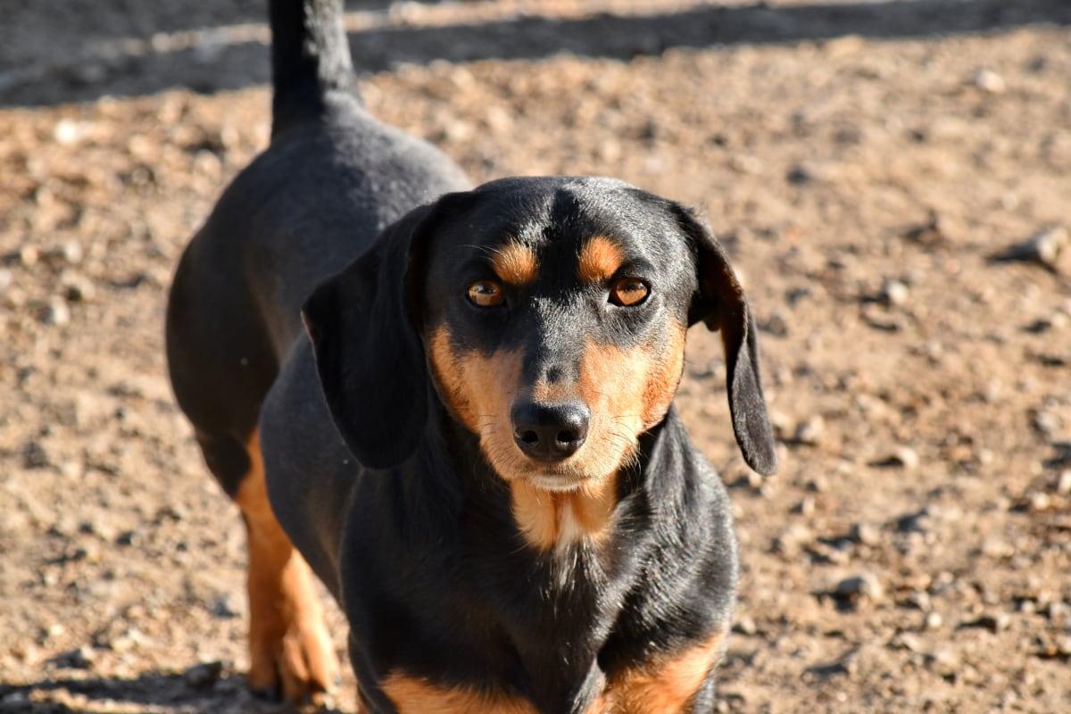 bella imagen, lindo, perro salchicha, perro de caza, buscando, canino, sabueso, perro, cachorro, mascota