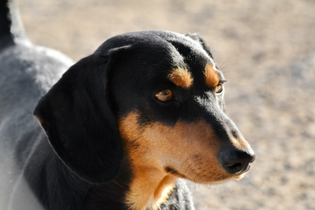 dachshund, side view, pet, dog, hound, animal, cute, portrait, puppy, fur