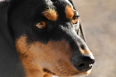 animal, close-up, dachshund, dog, eyes, head, nose, portrait, cute, shepherd dog