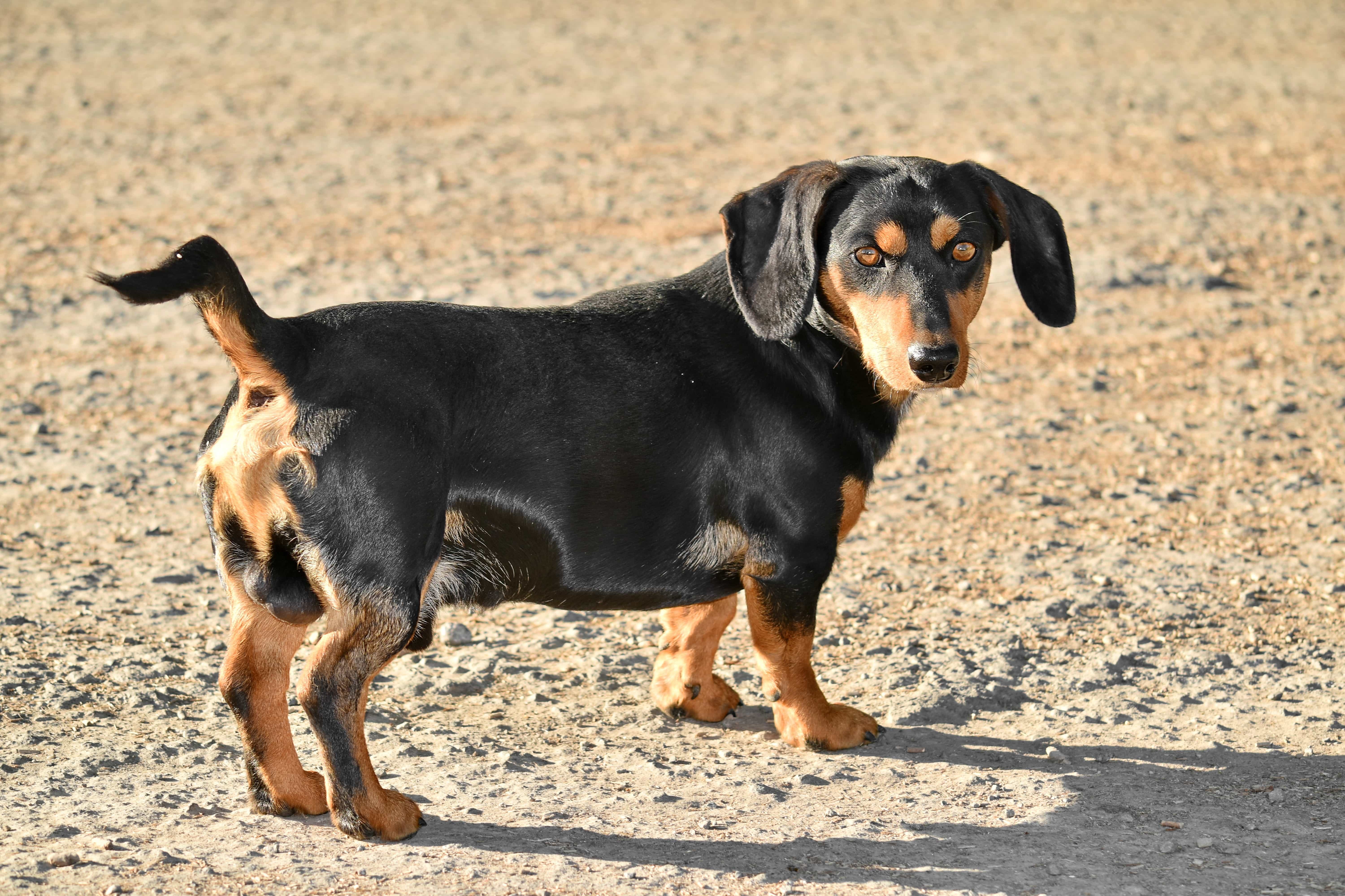 Free picture: dachshund, dog, purebred, side view ...