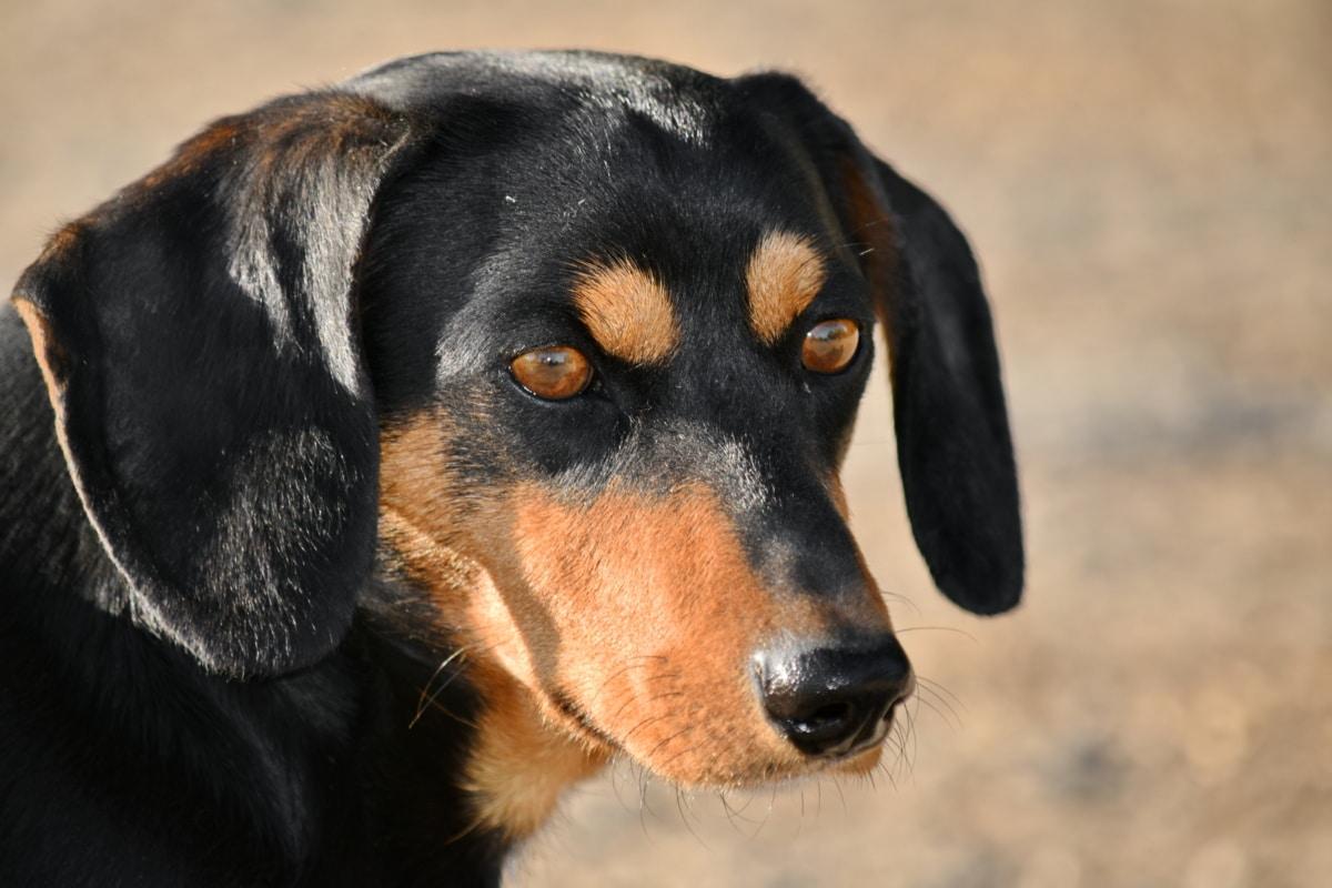divan, lijepa slika, crno, jazavčar, pas, glava, portret, čistokrvno, pas, životinja