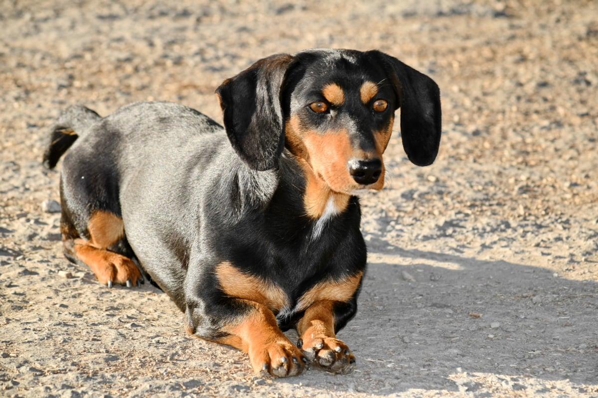 negru, curios, teckel, ouătoare, în căutarea, nas, relaxare, animale, rasa, câine