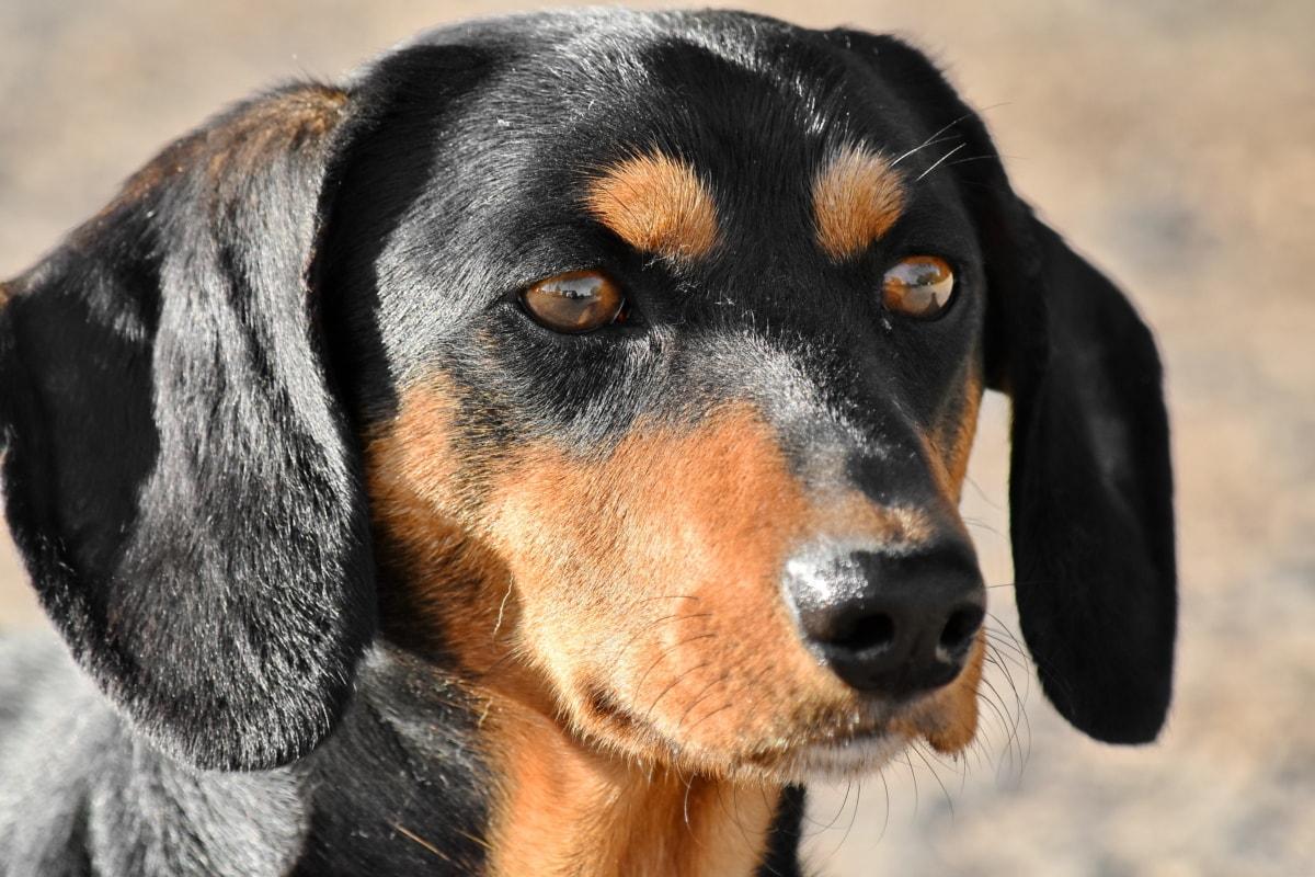 黑, 腊肠, 狗, 睫毛, 眼睛, 头, 狩猎狗, 可爱, 宠物, 肖像