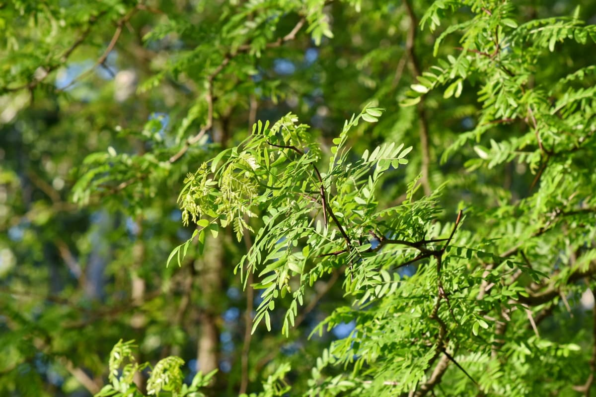 acacia, branches, fair weather, foliage, forest, green leaves, wilderness, nature, tree, leaf