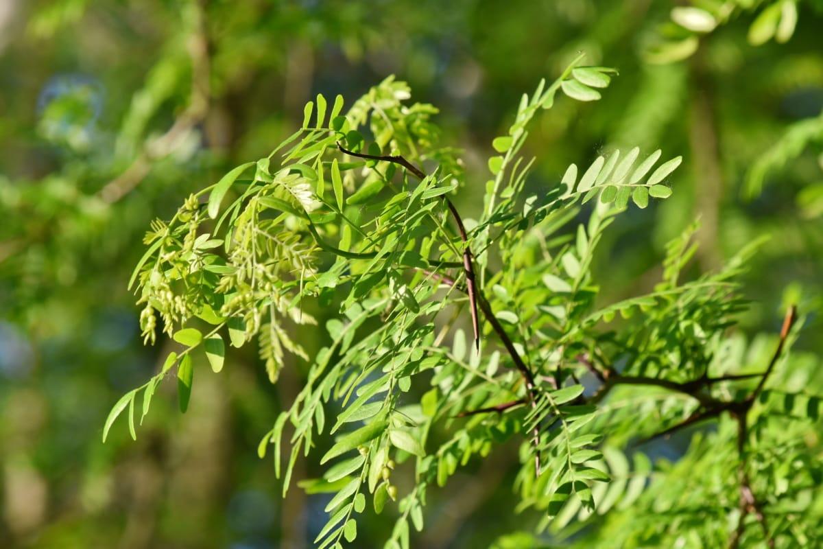 acácia, Ramos, folhas verdes, tempo de primavera, espinho, árvore, floresta, natureza, Verão, planta