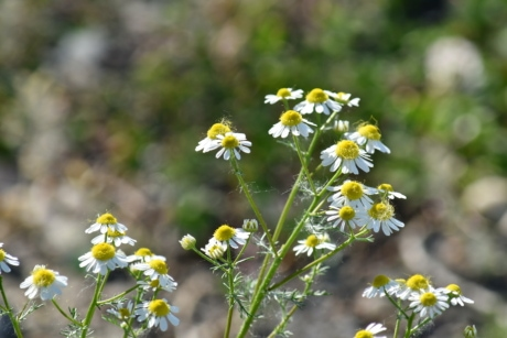 chamomile, plant, herb, flower, spring, flora, blossom, nature, meadow, summer