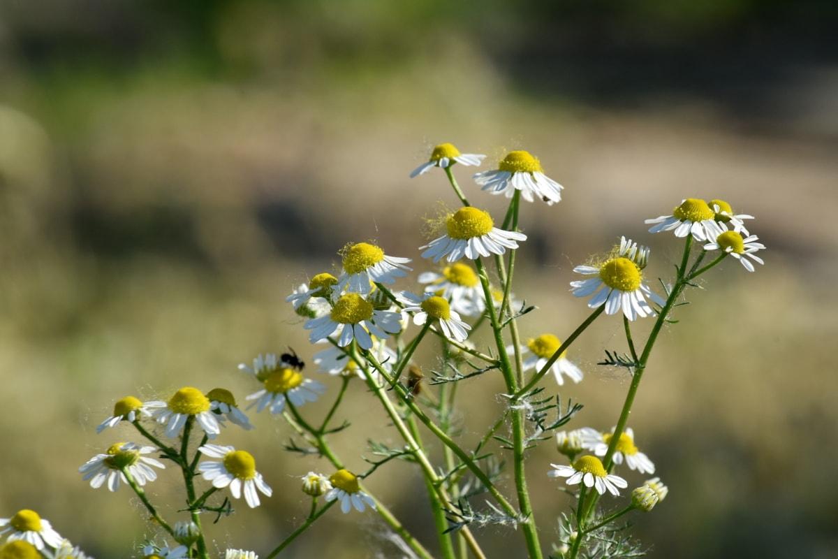 Kamilla, virágbimbó, virágzás, vadon élő állatok, sárgás-barna, virág, rét, tavaszi, gyógynövény, természet
