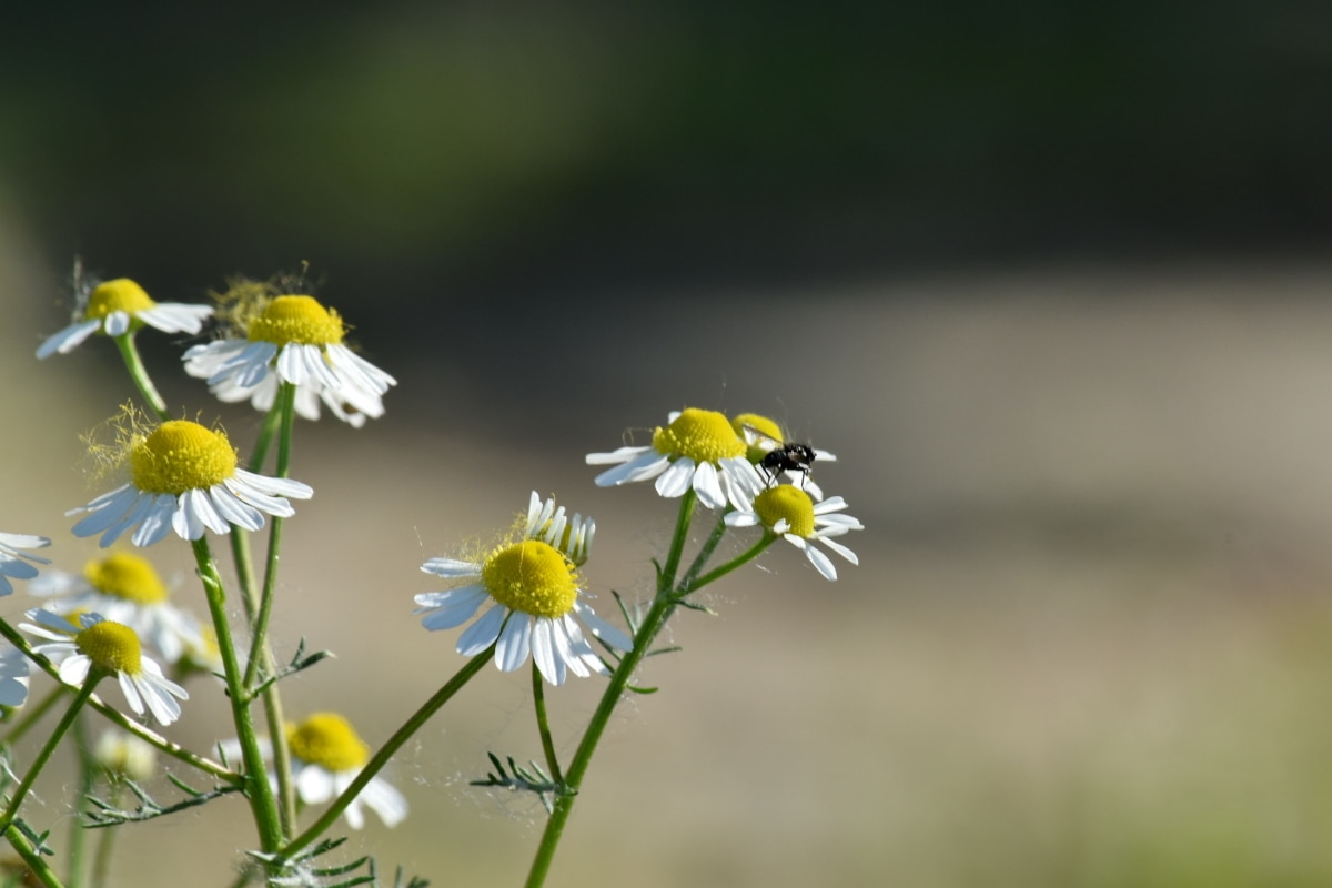 beautiful flowers, chamomile, insect, pollen, pollinating, meadow, nature, summer, blossom, herb