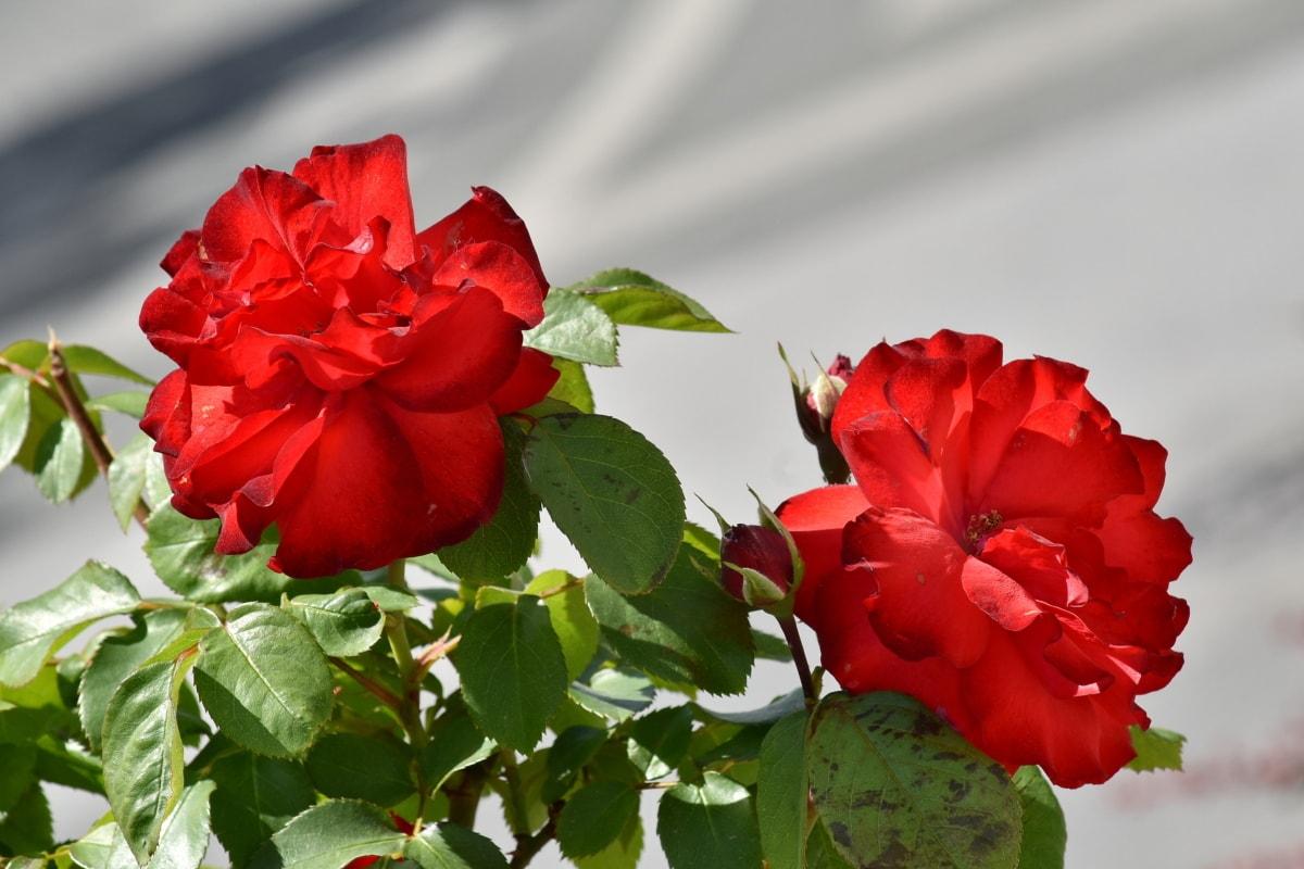 vackra blommor, blomknopp, blomma trädgård, blommor, rosor, kronblad, blomma, ört, blomma, trädgård