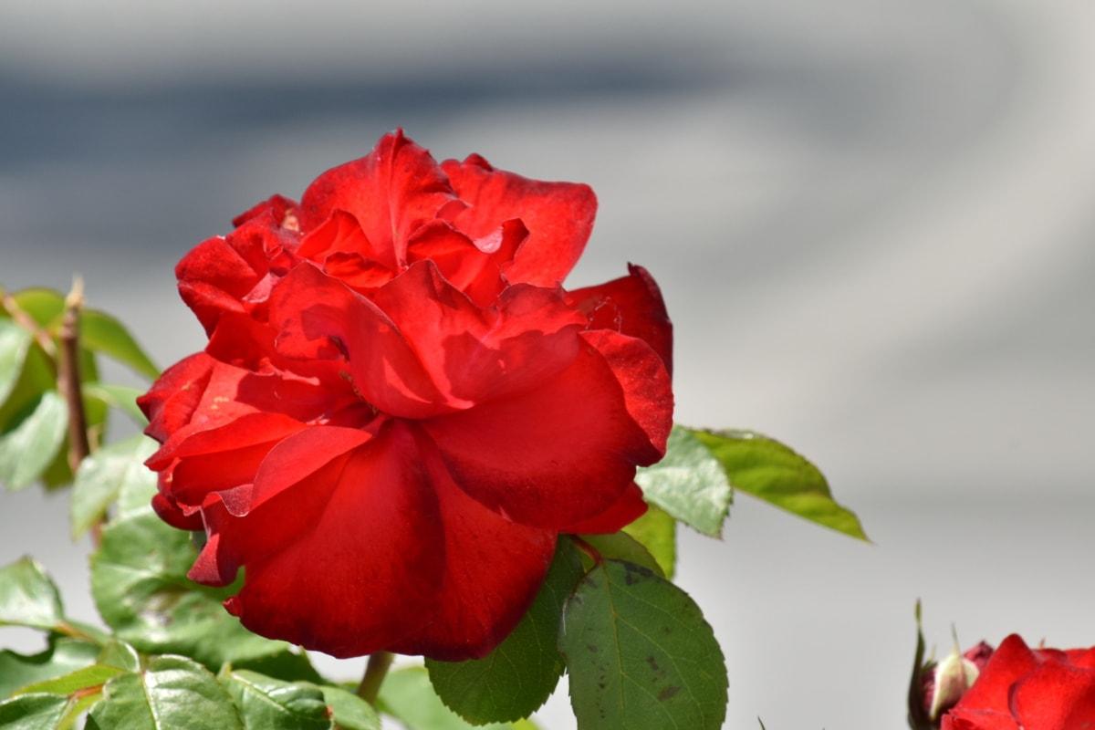 red, rose, roses, leaf, pink, bud, petal, plant, nature, flower