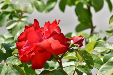 red, roses, blossom, nature, plant, rose, shrub, flower, petal, leaf