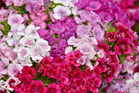 bouquet, carnation, pinkish, purplish, nature, garden, summer, color, petal, pink