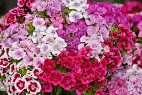 bouquet, carnation, cluster, colorful, nature, summer, pink, flower, shrub, petal