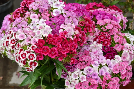 carnation, cluster, flora, petal, bouquet, flower, nature, garden, summer, blooming