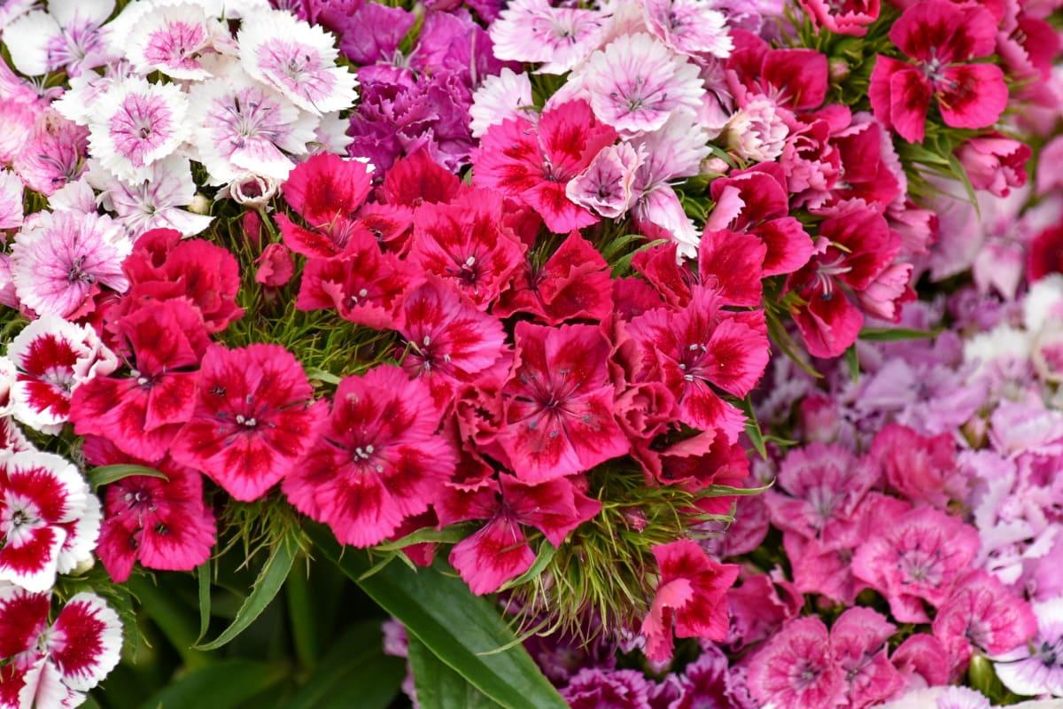 beautiful flowers, blooming, carnation, petals, pinkish, reddish, garden, bouquet, petal, flora