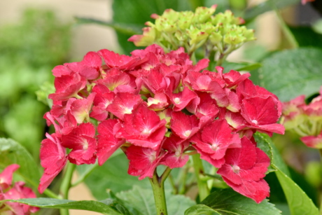 bright, hydrangea, reddish, nature, garden, shrub, flower, summer, flora, pink