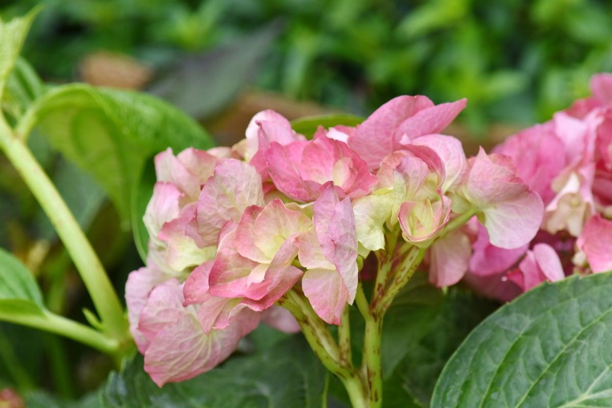 Bahçe, yeşil yaprakları, Bahçe Bitkileri, Pembemsi, çalı, Yaz, bitki, Ortanca, çiçek, yaprak