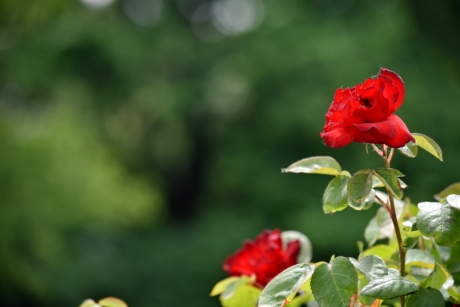 beautiful photo, flower bud, flower garden, red, roses, leaf, rose, bud, plant, nature