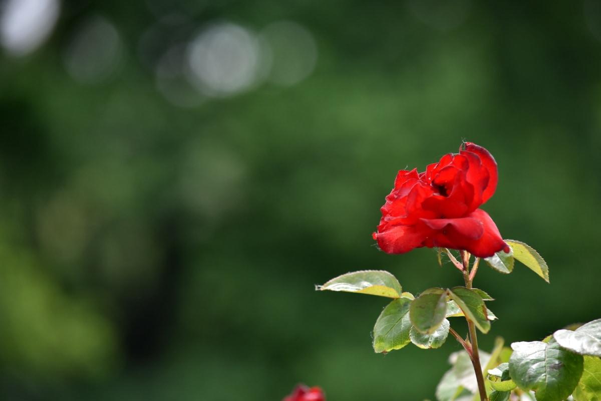 blur, trandafiri, timp de primăvară, mugur, petale, floare, natura, gradina, flora, floare