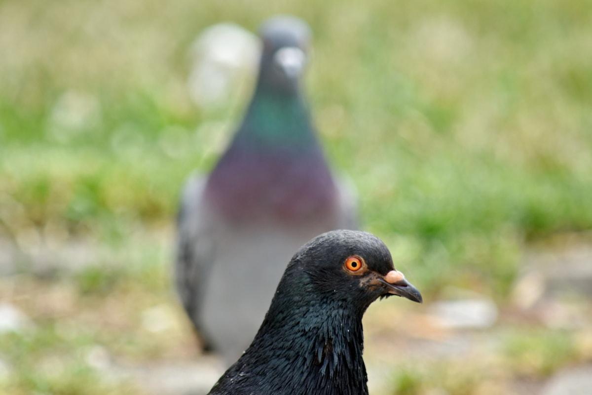 tập trung, đầu, chim bồ câu, chân dung, Side xem, động vật hoang dã, mỏ, chim bồ câu, con chim, ngoài trời